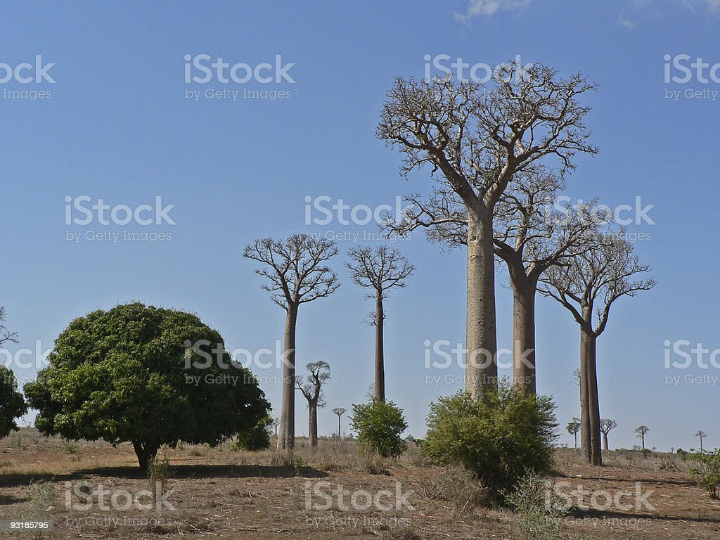Baobab tree forest royalty-free stock photo