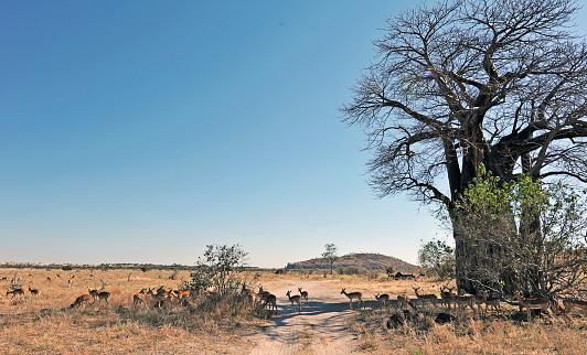 Baobab Tree Landscapewith Impala Antelope Feeding Botswana Africa Stock Photo - Download Image Now