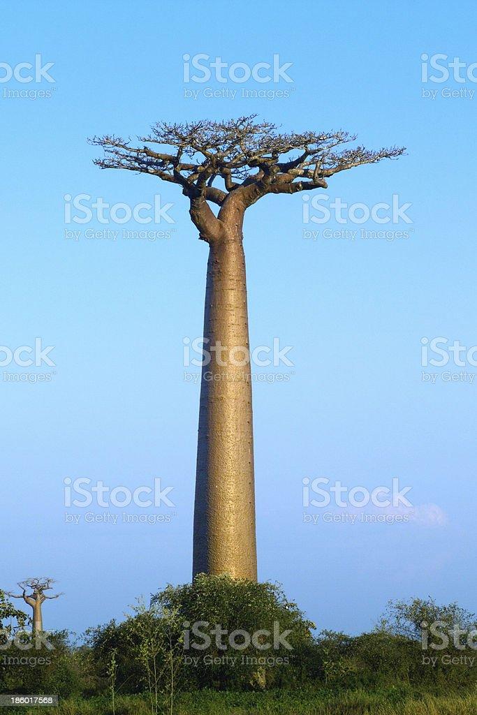 baobab tree bildbanksfoto