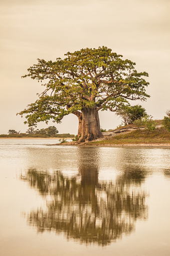 A baobab tree on an island is reflected in the water of a salt marsh.