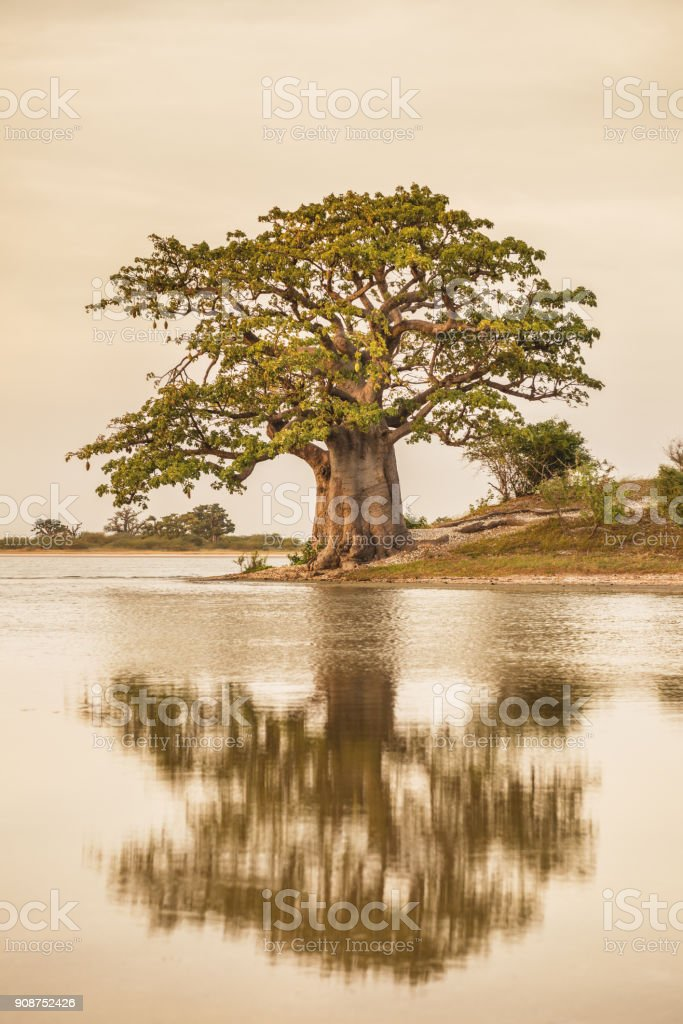 Baobab tree reflection stock photo