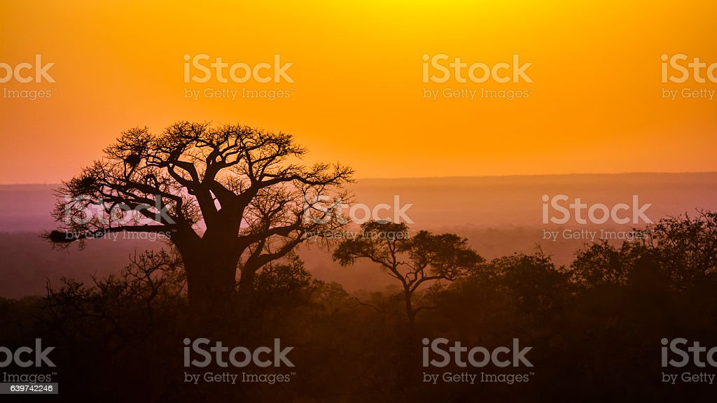 Baobab tree sunset in Kruger National park, South Africa stock photo