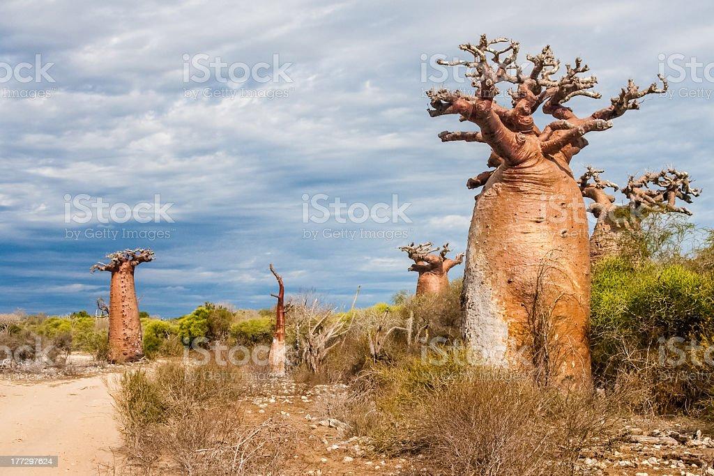Baobab trees and savanna royalty-free stock photo