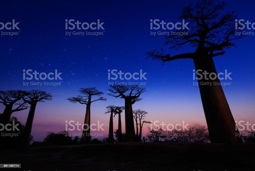 Baobab trees in Madagascar stock photo