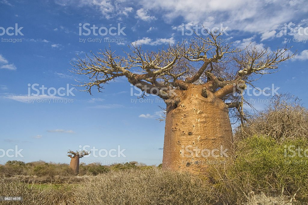 Baobab trees royalty-free stock photo