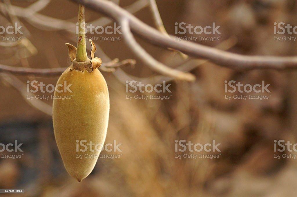 Baobabfrucht stock photo