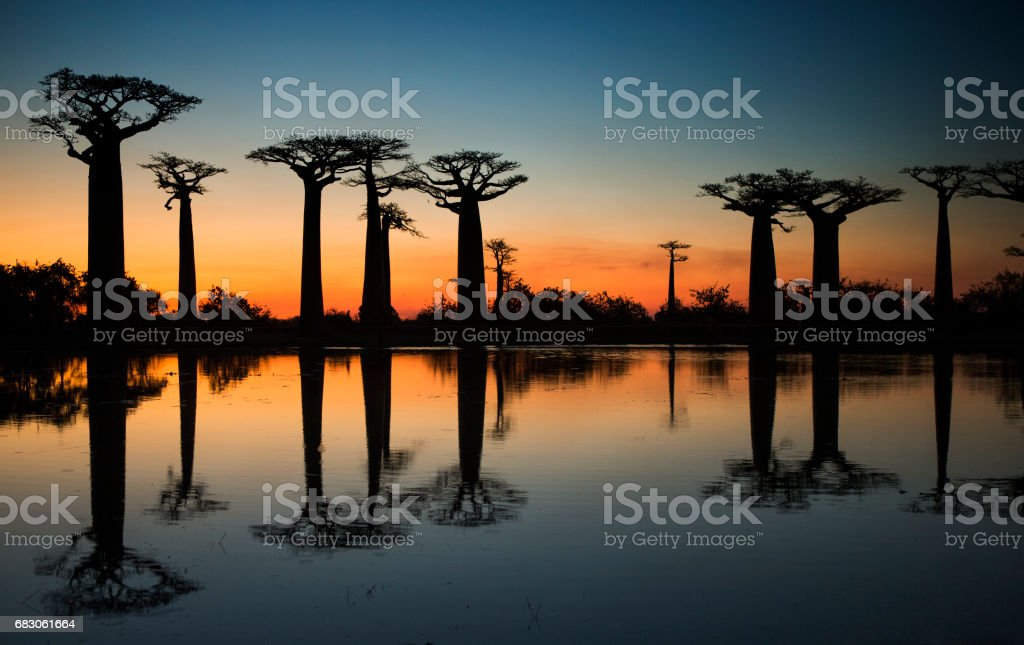 Baobabs at sunrise near the water with reflection. stock photo
