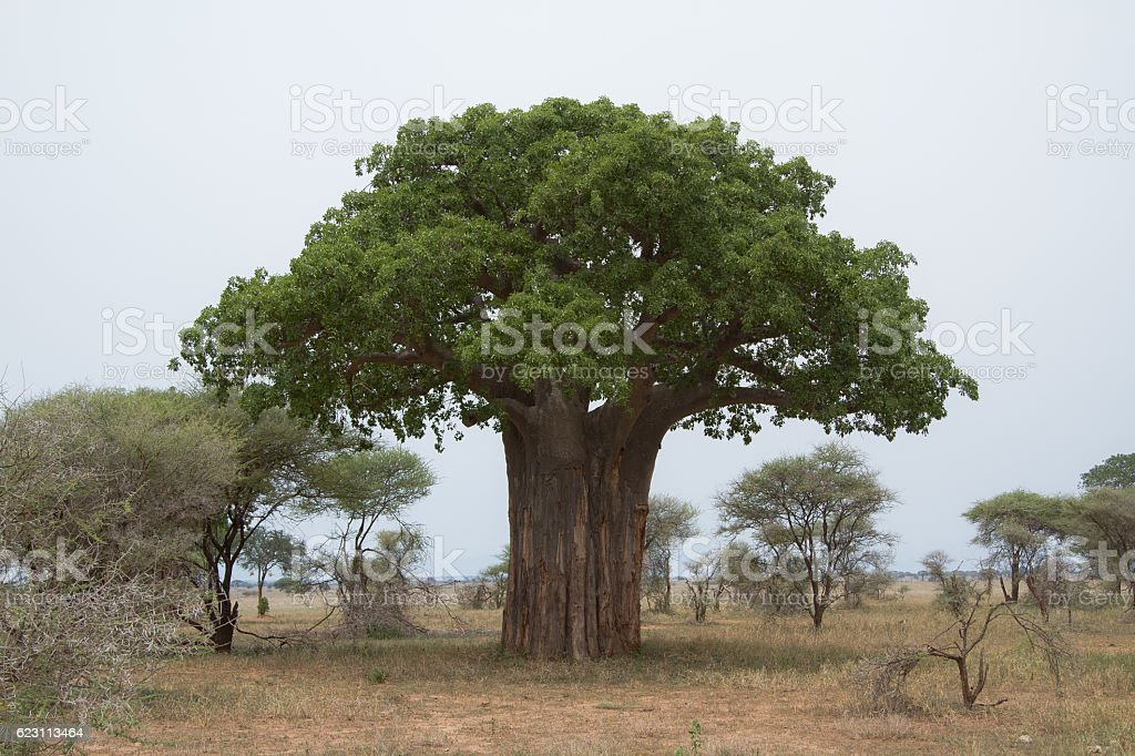 Baobabs in Tarangire National Park stock photo