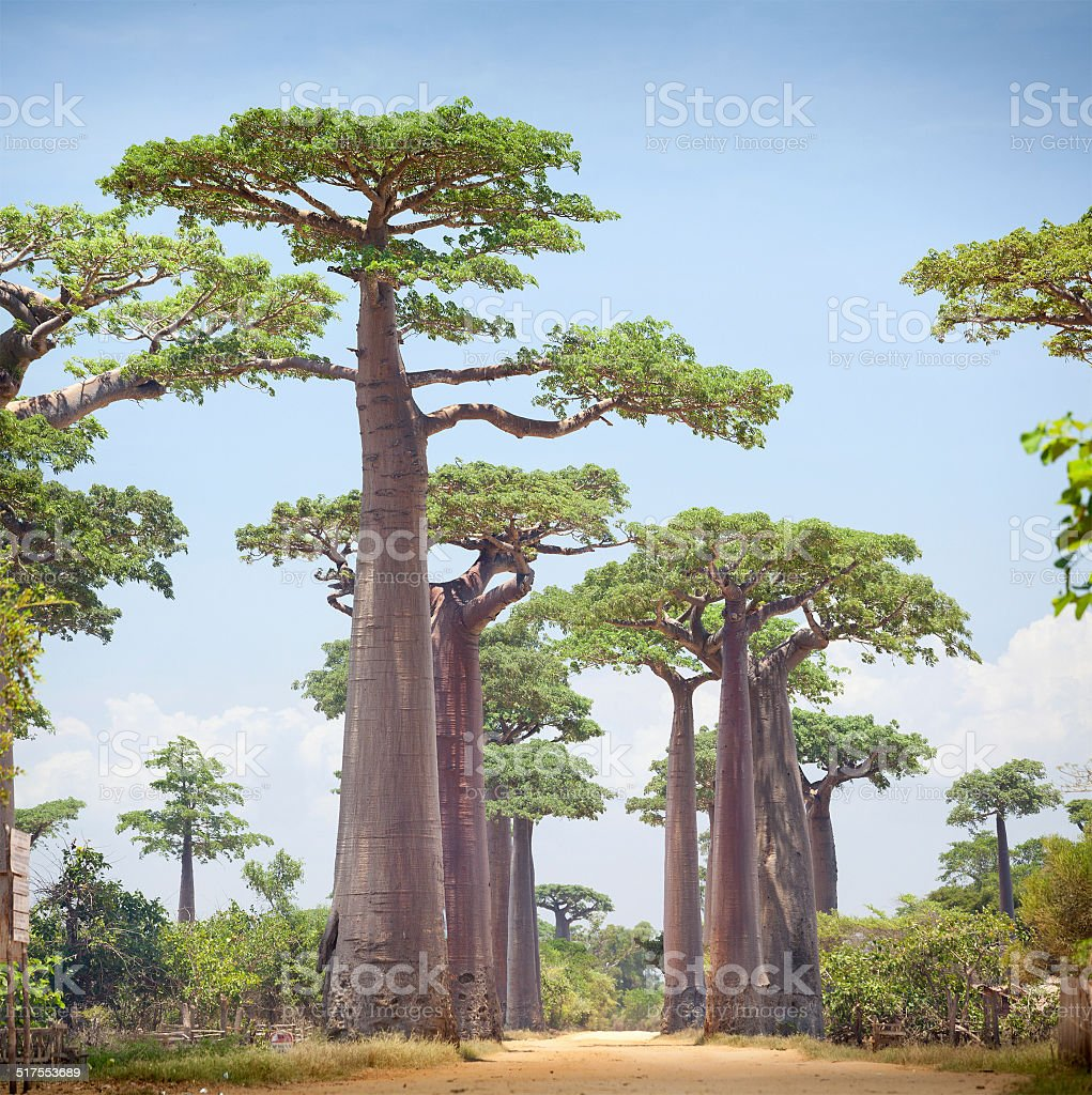 Baobabs - foto de stock