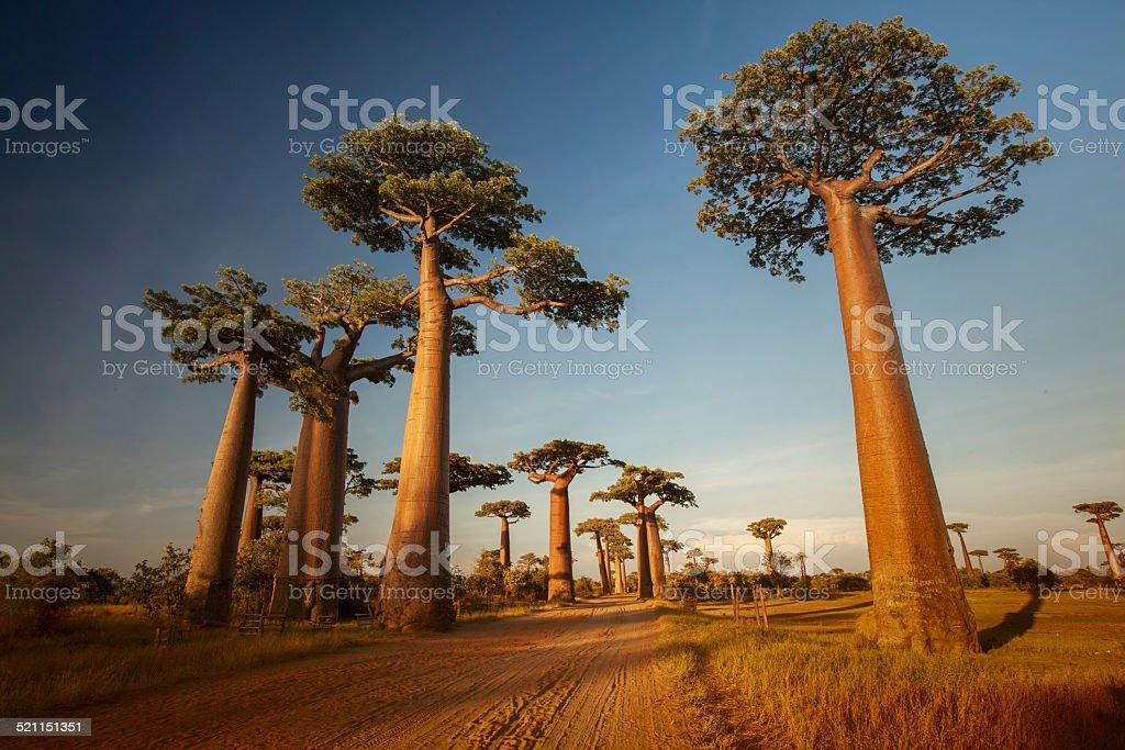 Baobabs bildbanksfoto