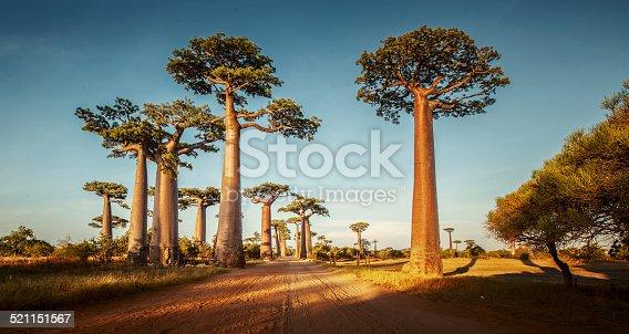 istock Baobabs 521151567