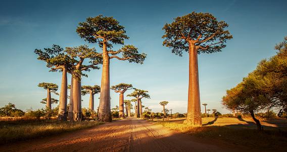Baobabs 0명에 대한 스톡 사진 및 기타 이미지