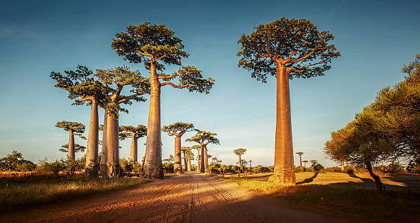 Baobabs Baobab trees along the rural road at sunny day south africa stock pictures, royalty-free photos & images