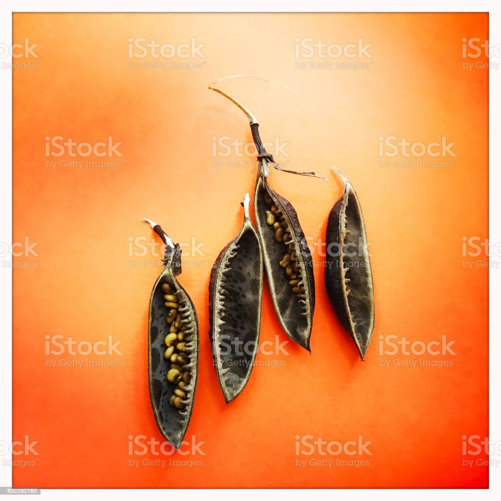 Baptisia Seed Pods stock photo