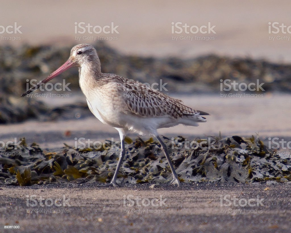 Bar Tailed Godwit (Limosa lapponica) royalty free stockfoto