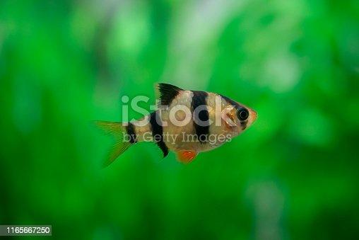 barb in the aquarium close - up ( Puntigrus tetrazona )