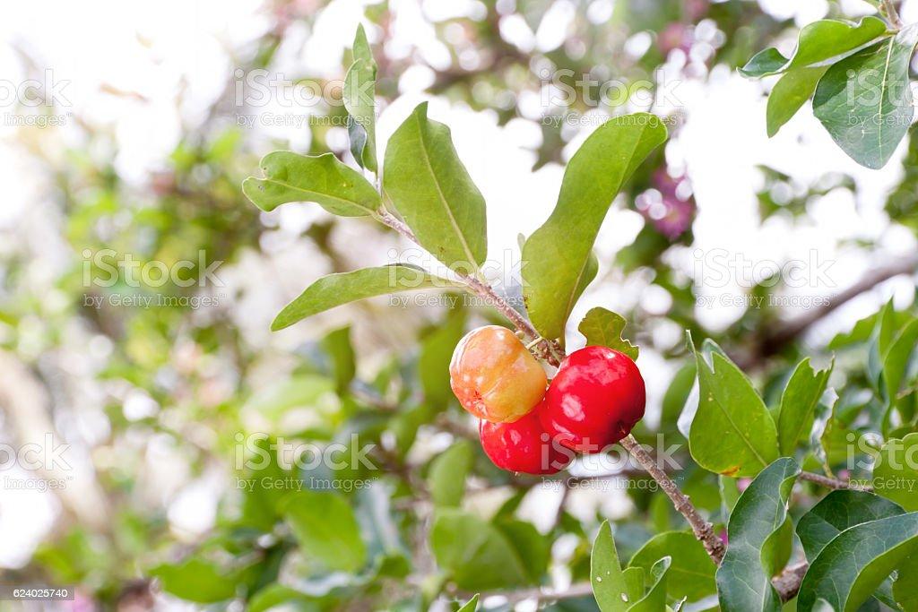 Barbados cherry (Malpighia glabra L.) stock photo