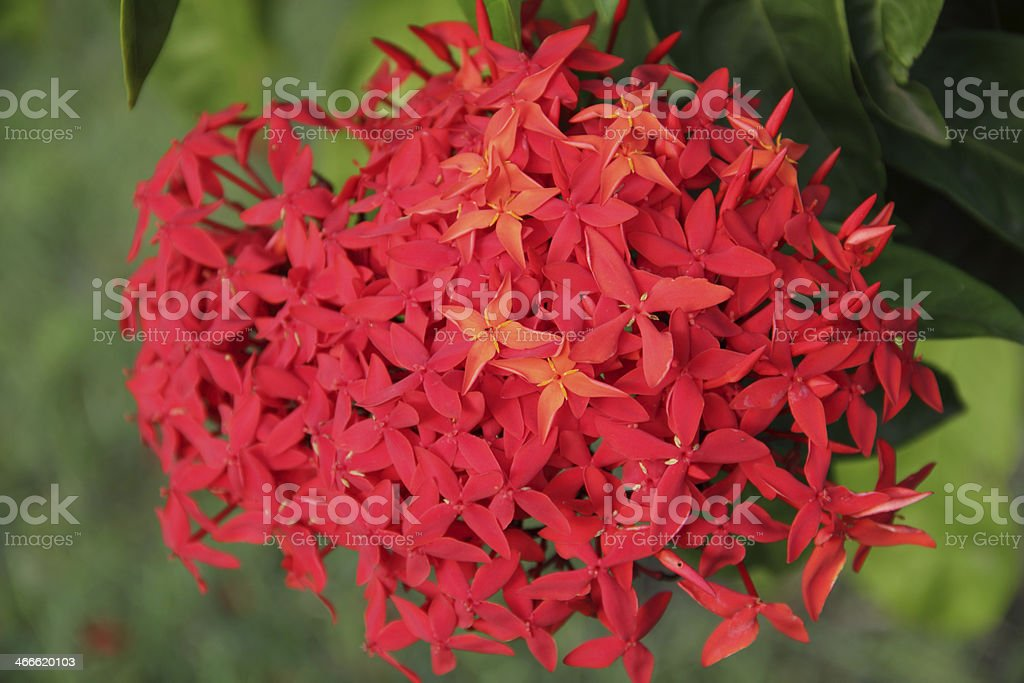 barbados red flower stock photo