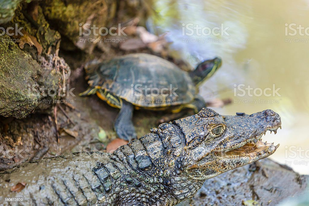 Barbados Wildlife Reserve royalty-free stock photo