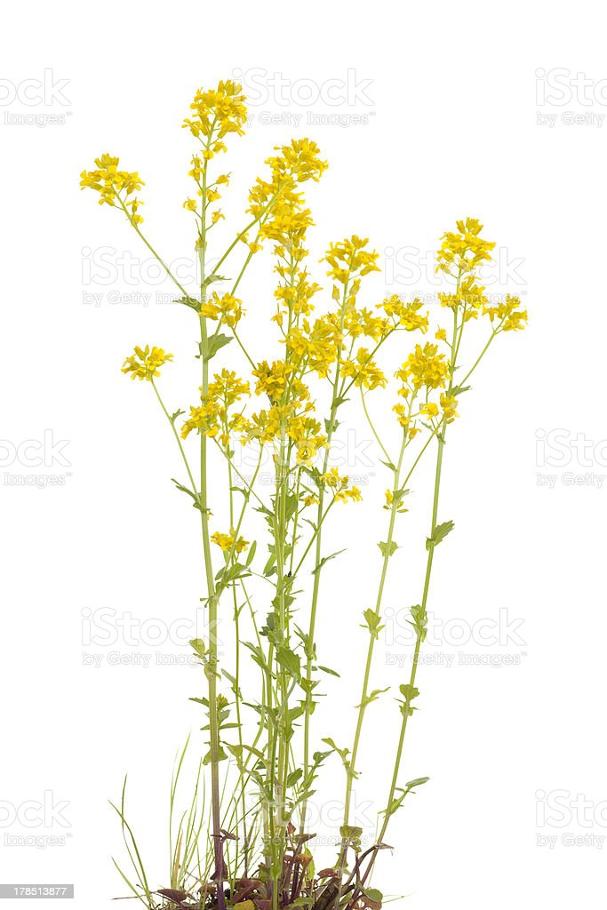 Barbarea vulgaris royalty-free stock photo