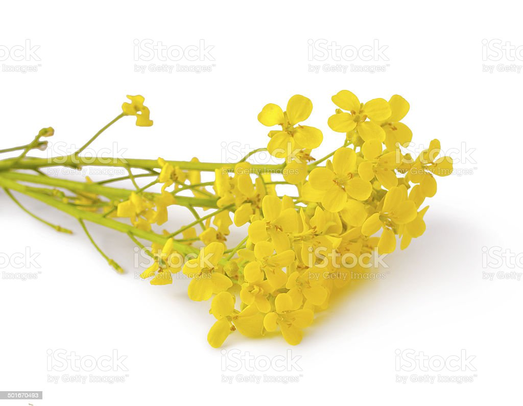 Barbarea vulgaris stock photo