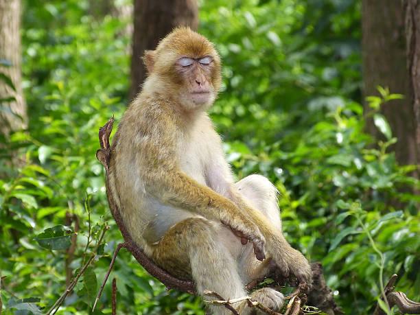 barbary grand singe magot macaque look drôle fatigué - singe magot photos et images de collection