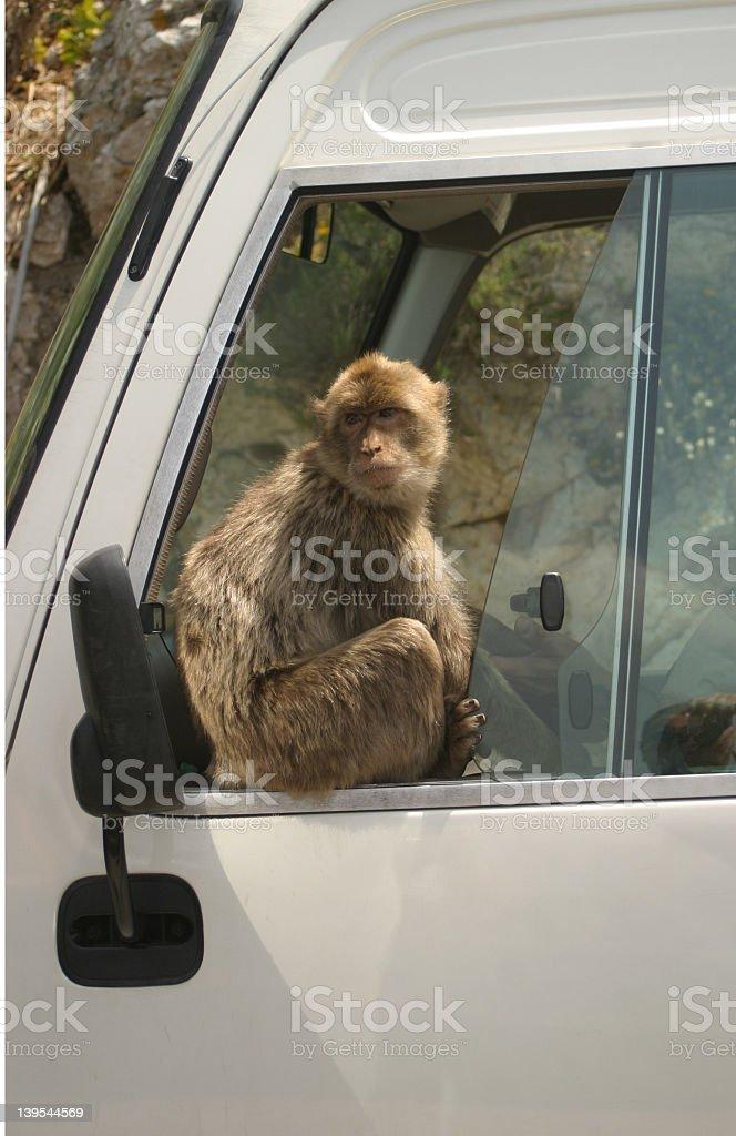 Barbary Ape on bus stock photo