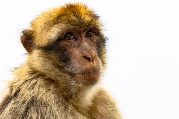 barbary ape regarder - singe magot photos et images de collection