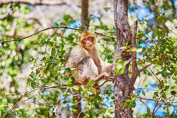 piste barbary singes dans la forêt de cèdres dans le nord du maroc - singe magot photos et images de collection