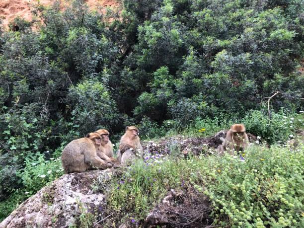 singes de barbarie - singe magot photos et images de collection
