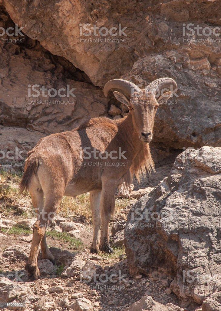 Barbary Bighorn Sheep at Carlsbad Caverns stock photo