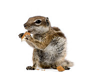 Barbary Ground Squirrel eating nuts, Atlantoxerus getulus, against white background, studio shot