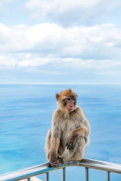 un macaque berbère au rocher de gibraltar - singe magot photos et images de collection