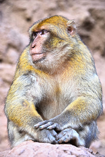 barbary macaque at the ouzoud falls in morocc - singe magot photos et images de collection