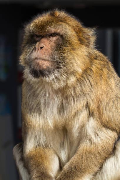 macaque berbère. gibraltar (uk). - singe magot photos et images de collection
