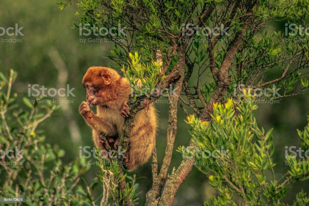 Barbary macaque in Gibraltar stock photo