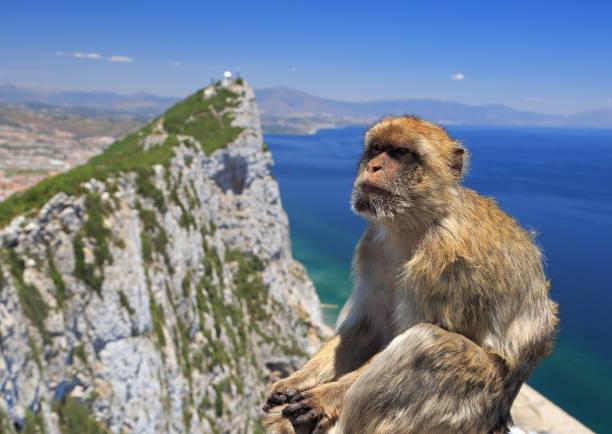 singe magot de gibraltar - singe magot photos et images de collection