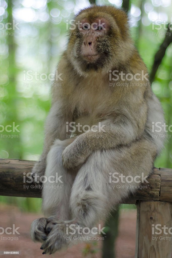 Barbary macaque in wildleif stock photo