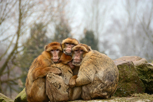 barbary macaque keep each other tight on a cold day. - singe magot photos et images de collection