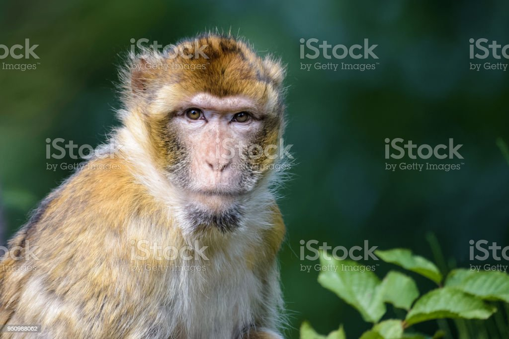 Barbary macaque looking at the camera stock photo