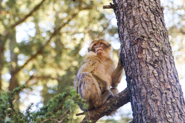 singe magot singe - singe magot photos et images de collection