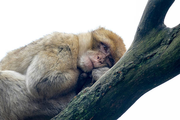barbary macaque monkey resting in a tree - singe magot photos et images de collection