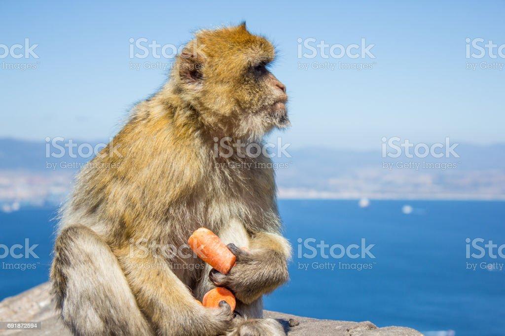 Barbary macaque macaco de Gibraltar - foto de stock