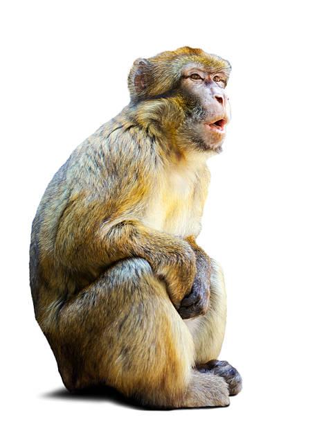 singe magot sur fond blanc - singe magot photos et images de collection