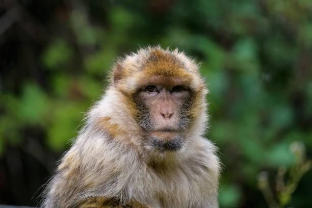 macaque berbère - singe magot photos et images de collection