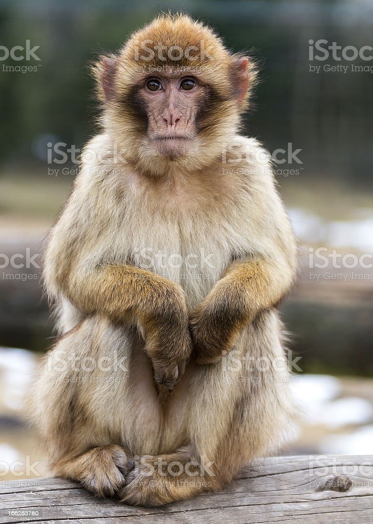 Barbary Macaque (Macaca sylvanus) stock photo