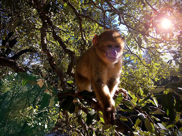 singe magot - singe magot photos et images de collection