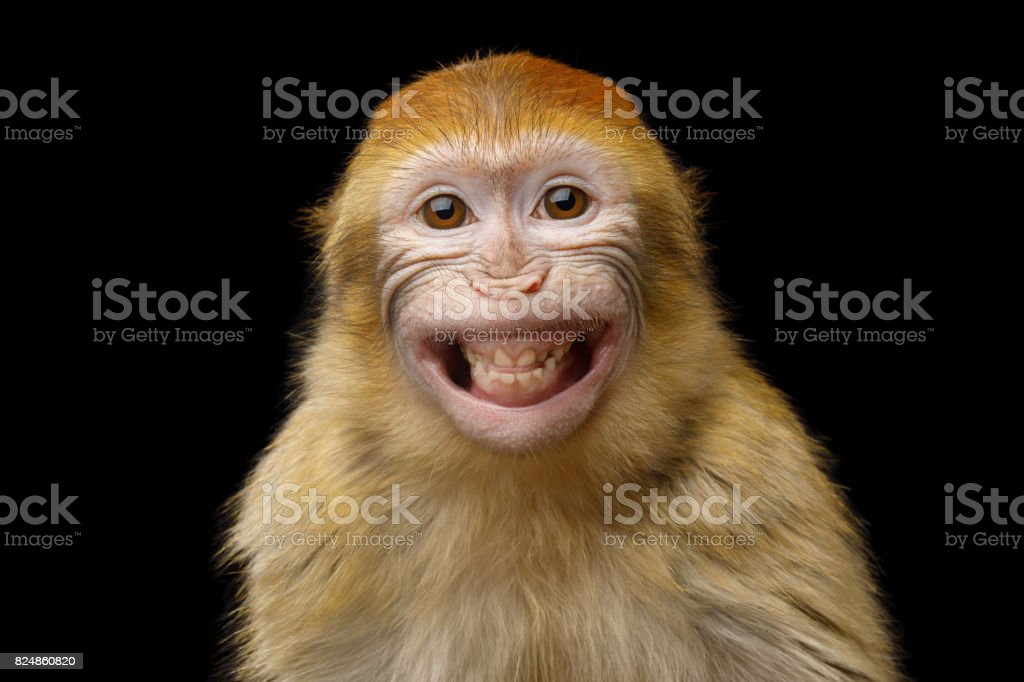 Barbary Macaque - Royalty-free Animal Stock Photo