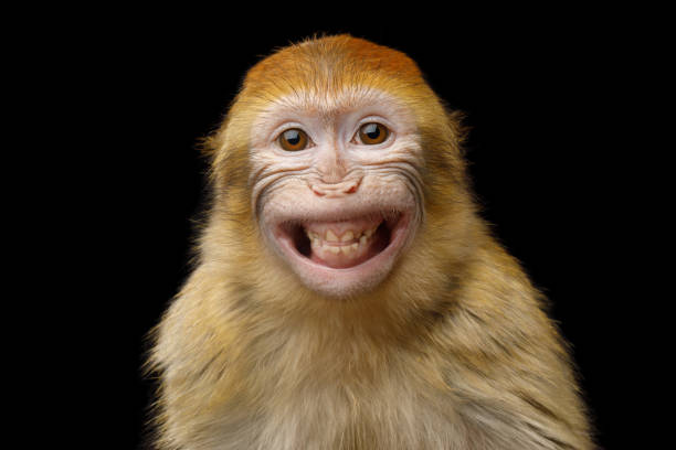 Barbary Macaque Funny Portrait of Smiling Barbary Macaque Monkey, showing teeth Isolated on Black Background animal eye stock pictures, royalty-free photos & images