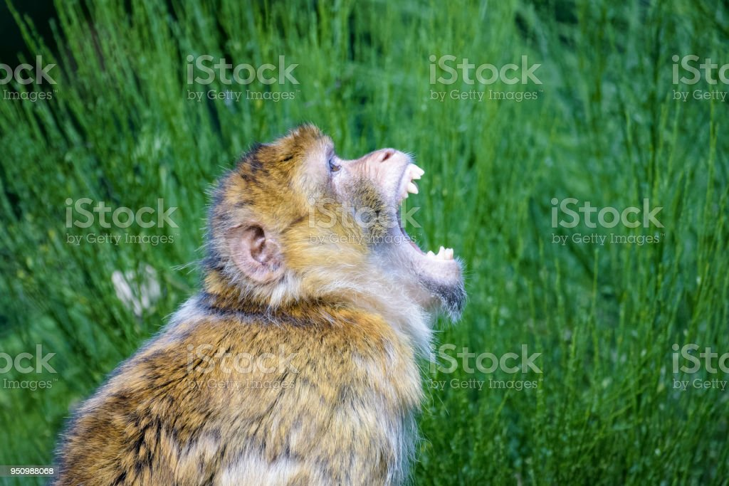 Barbary macaque threatening another macaque in a tree stock photo